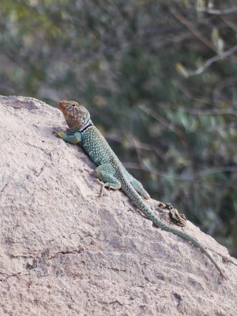 Un collared lizard mâle  : Crotaphytus collaris .Vit dans les canyons et les bois ouverts