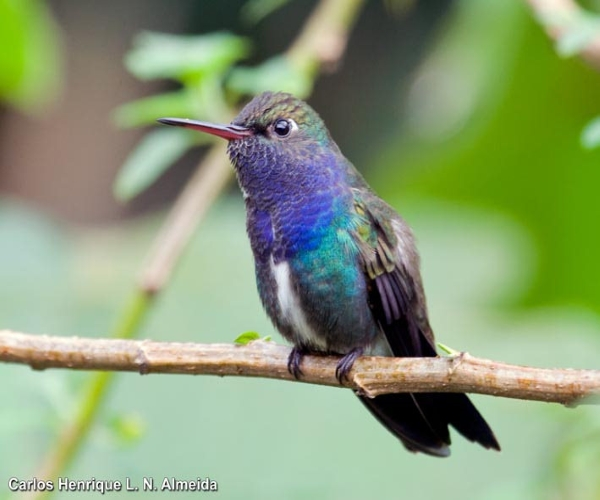 beija-flor-de-peito-azul-Amazilia-lactea