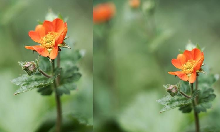 Collage einer orangefarbenen Staudenpflanze { by it's me! }