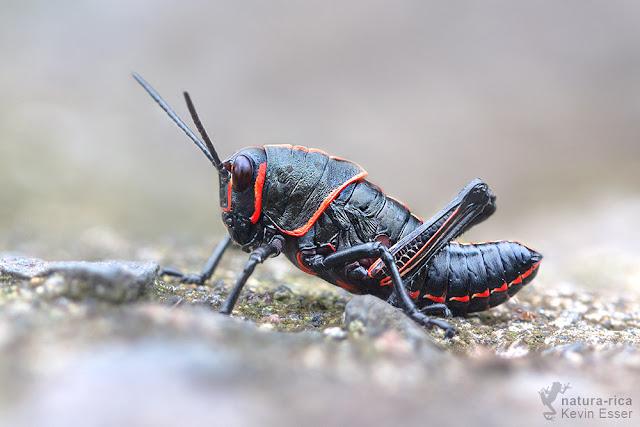 Taeniopoda sp. - Lubber Grasshopper