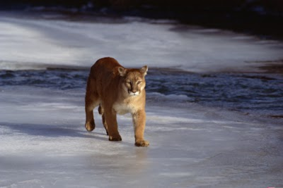 Cougar existence confirmed in Michigan's Houghton and Keweenaw counties