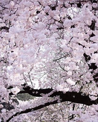 Wiśnia kwitnie w Japonii