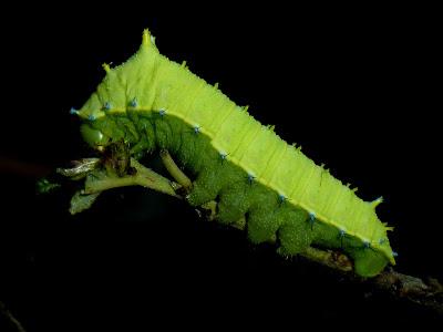 Rhodinia fugax caterpillar