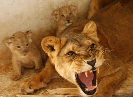 lioness-protects-cubs.jpg