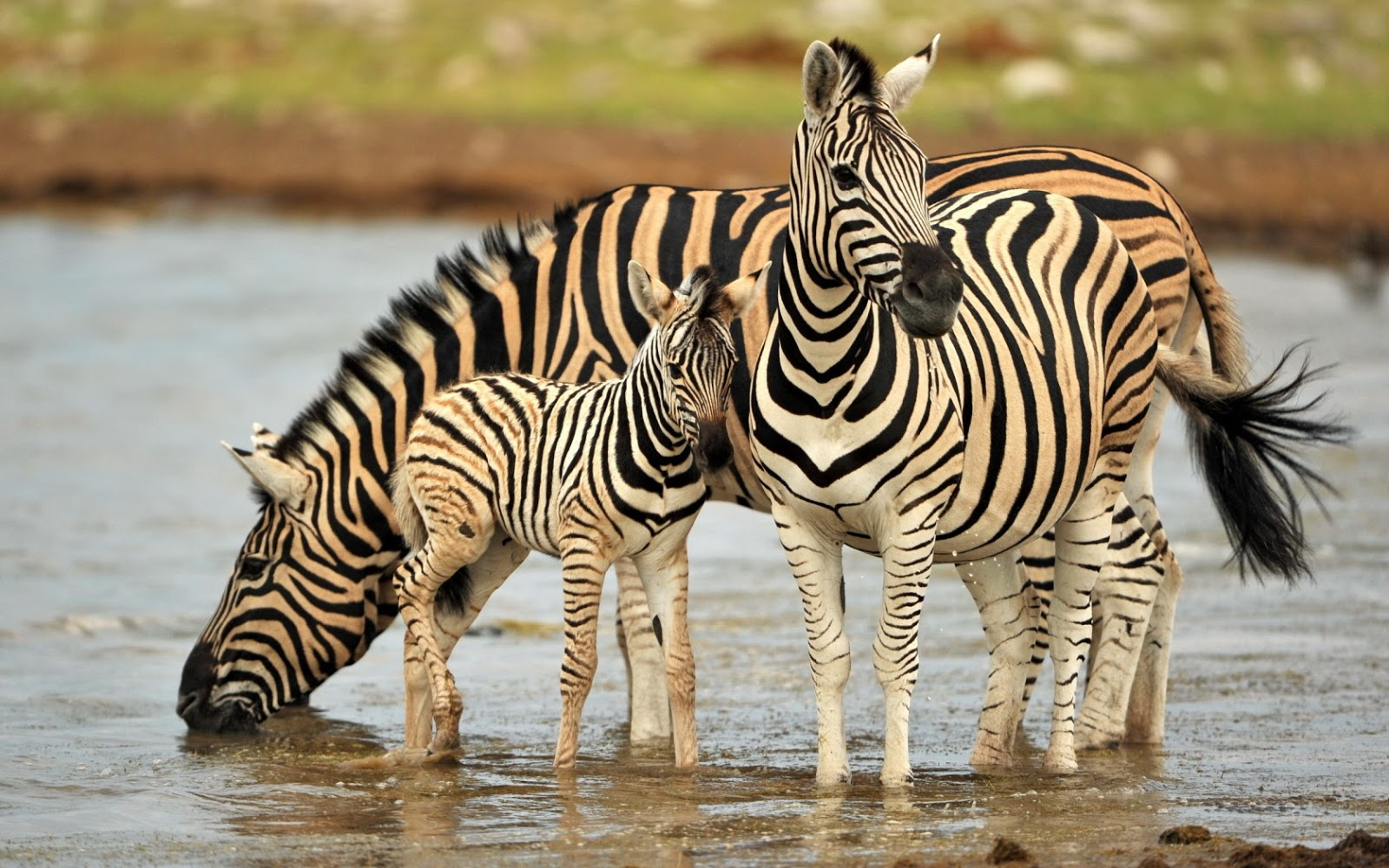 Top 20 Most Cute And Dashing Zebra Wallpapers In HD