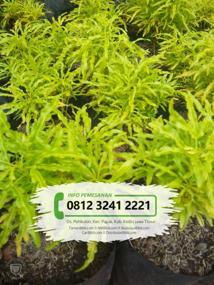 Jual Bibit Bunga Brokoli Kuning