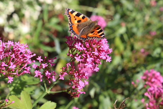 Small tortoiseshell butterfly on valerian