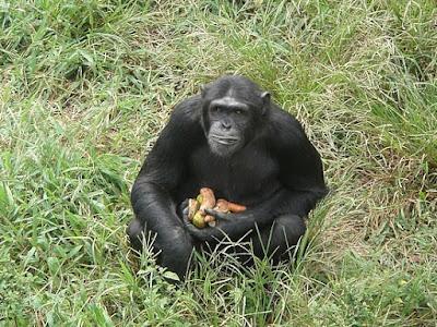 gorilla hoarding food