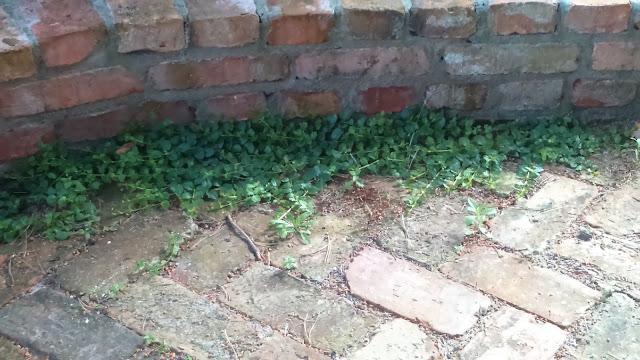 lysimachia nummularia, cegła w ogrodzie, cegła rozbiórkowa