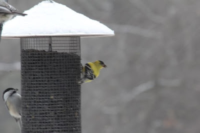 male goldfinch, early Spring 2016