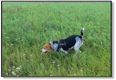 ein Beagle muss sich auspowern