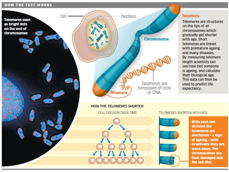 vivix memanjangkan telomeres
