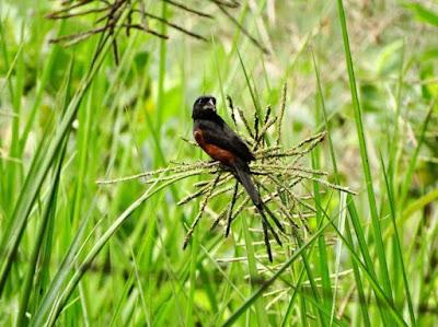 Curió, sporophila angolensis, ave de gaiola, pássaro de gaiola, aves do brasil, tráfico de animais, birds, Chestnut-bellied Seed-Finch, pássaros, animais, natureza, birding.