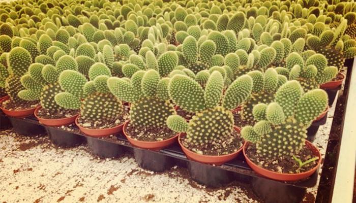 Conejito de cactus