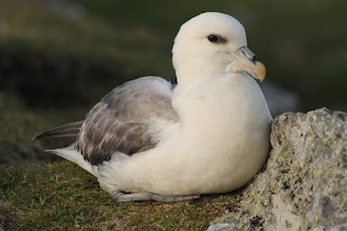 Fulmar by Lewis Mitchell