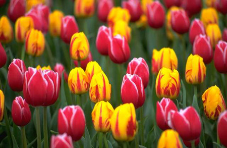 Images And Places Pictures And Info Jerusalem Tulip