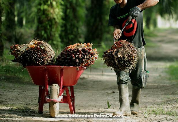 trek menyebabkan produksi sawit petani menurun