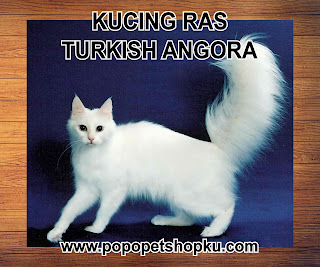 kucing turkish angora