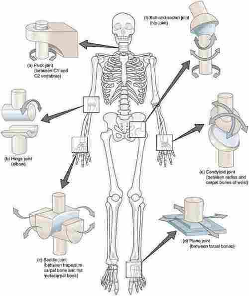 28++ Hubungan antar tulang yang terdapat pada persendian ibu jari adalah inspirations