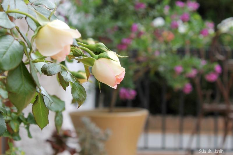 Rosas y poligala, al fondo en la maceta