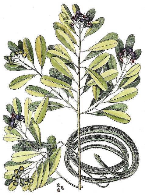 Mark Catesby large color illustration of a snake 1700s