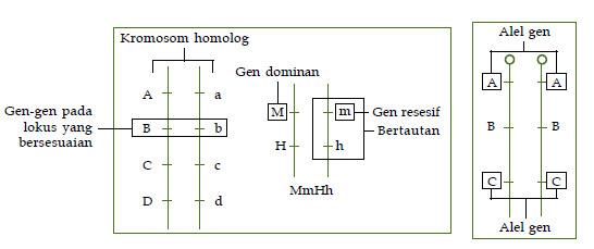 Gen adalah unit genetis yang terdapat di dalam kromosom Sifat dan Fungsi Gen