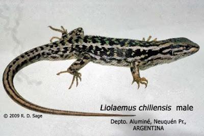 Liolaemus chiliensis