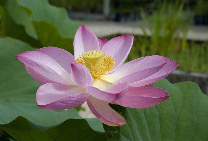 Flor de loto - Nelumbo 'Rosea plena'