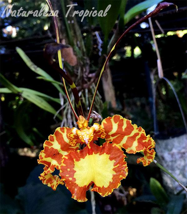 Foto de la flor característica de la orquídea Mariposa, Psychopsis papilio