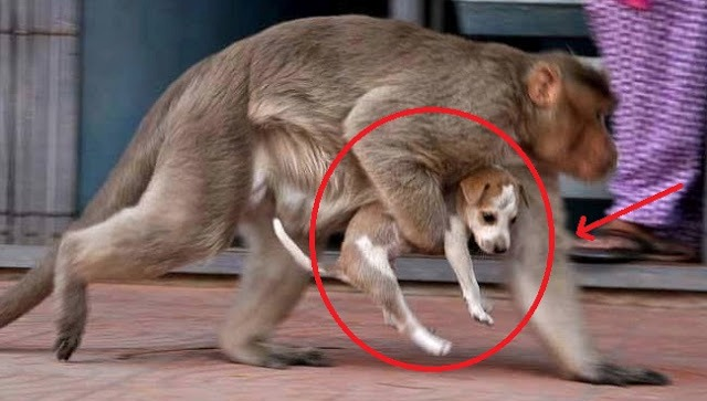 monkey carry dog puppy around