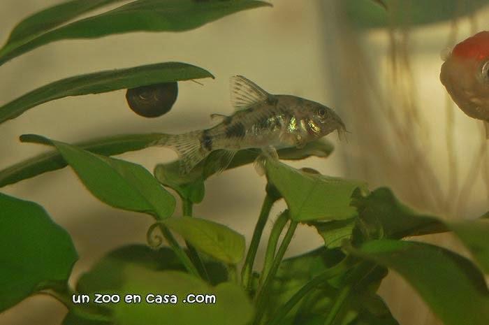 Corydoras paleatus nadando