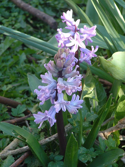Photo of two hyacinths flowering in a garden