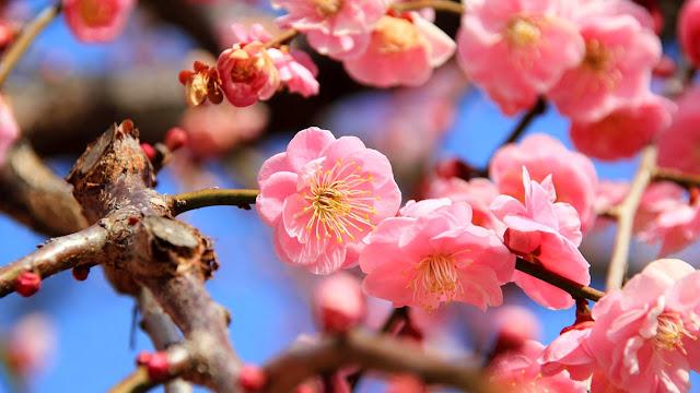 Foto Most Wanted Bunga Sakura HIstory