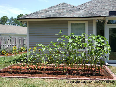 Sunflower Plants Prospering in the Ground May 17, 2013