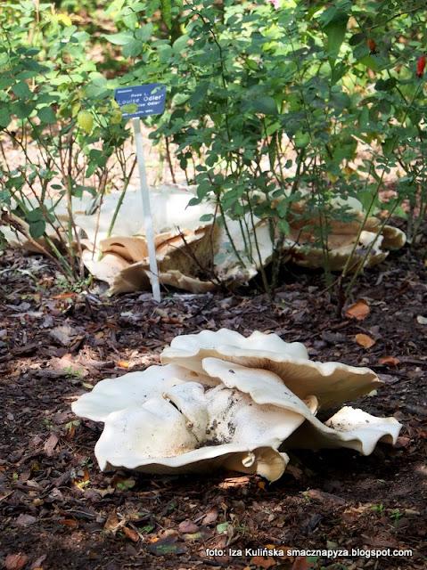 białokrowiaki olbrzymie, lejkówka olbrzymia, grzyby gatunkami, atlas grzybów, co to za grzyb, grzyby jadalne,