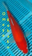 Jenis Ikan Koi Kohaku  omoyo kohaku