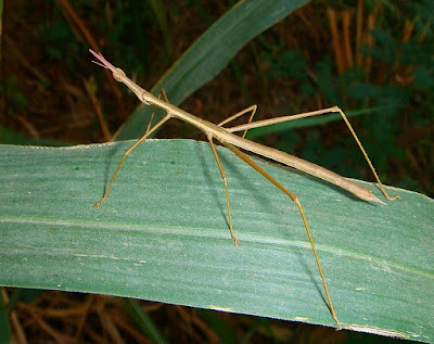 Maiores insetos do mundo e suas incríveis habilidades