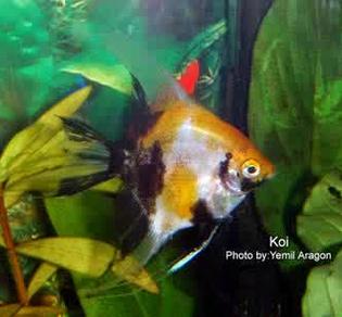 Inilah Jenis-Jenis Ikan Manfish/(Angelfish) Koi