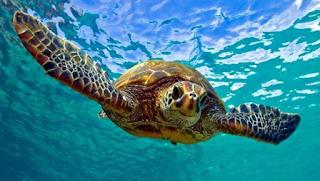 Beberapa Spesies Penyu Laut