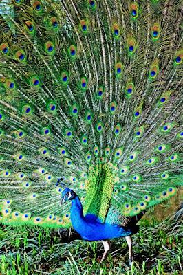 free-photo-peacock-567