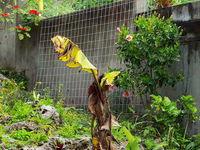 dying banana leaf