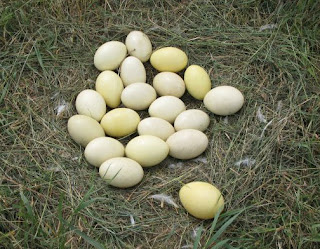 rhea eggs,health benefits of rhea eggs,eggs for good health