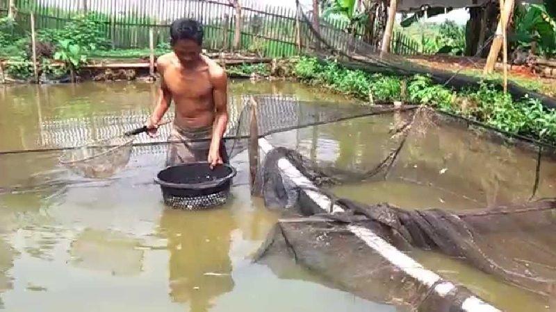 Budidaya IKan Patin di kolam tanah