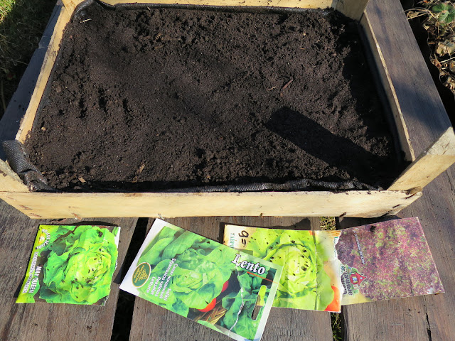 посев салата, выращивание кочанного салата, рассада, яшик для рассады, сорта салата, аленин сад