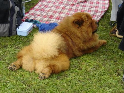 Cute Chow Chow puppy sit in garden