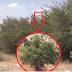 Takut Akan Hadits RASULULLAH; YAHUDI Tanami Pohon GHORQOD, Mengapa ??