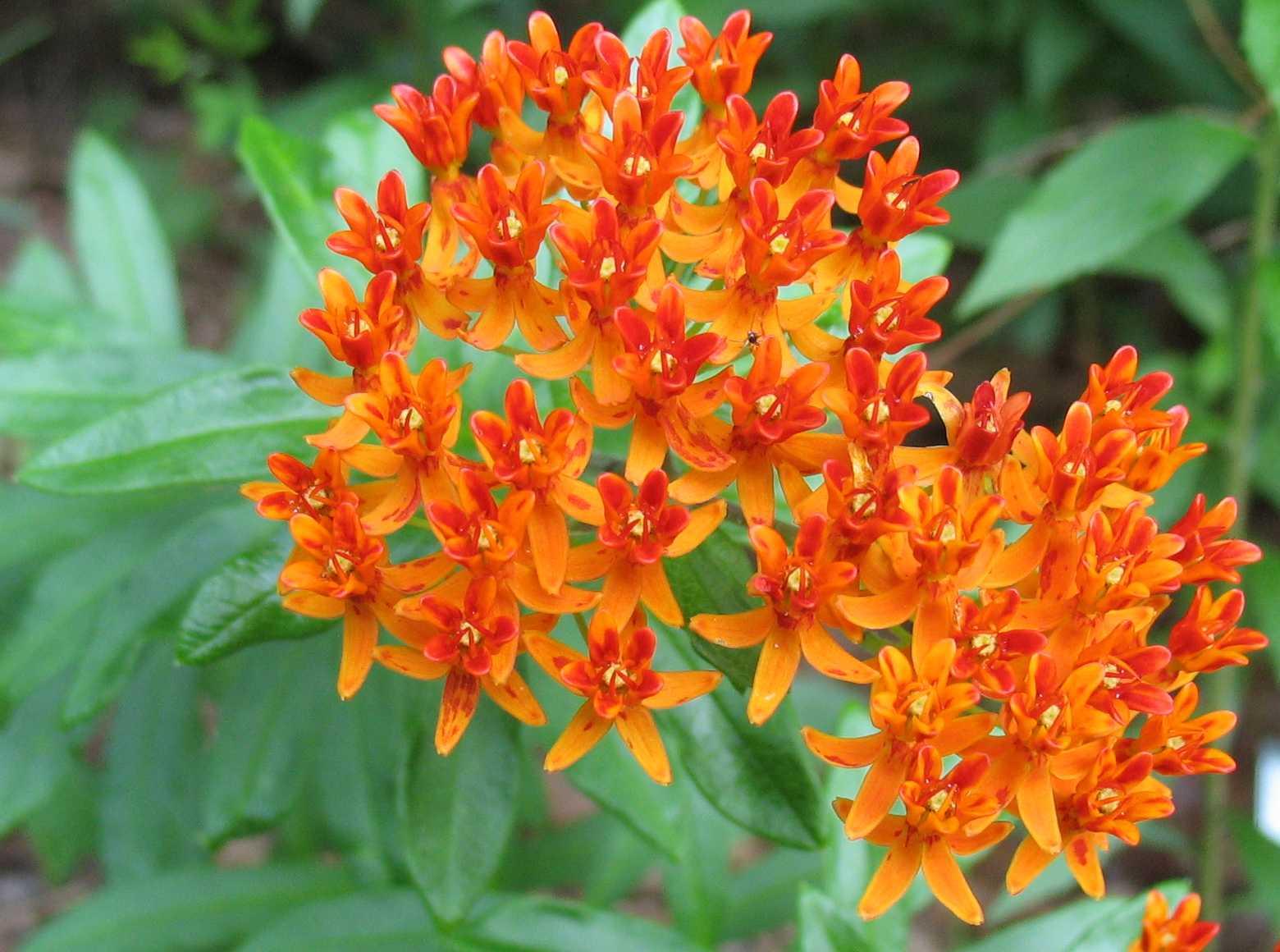 Using Georgia Native Plants Native Summer Perennials In