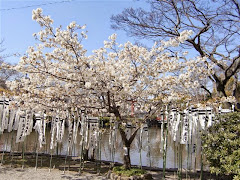 旗上弁財天社の大島桜