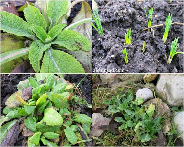 наперстянка, крокусы, примула, маргаритки, зимние цветы, зелень, из-под снега, аленин сад, январь