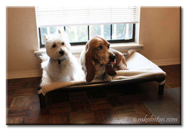 Pierre Westie and Bentley Basset both on Kuranda Dog Bed